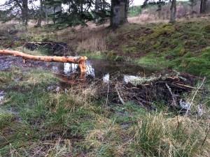 Beaver Wetland in Scotland
